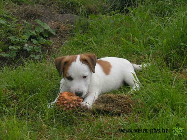 Adoption de mes adorables chiots jack russel terrier