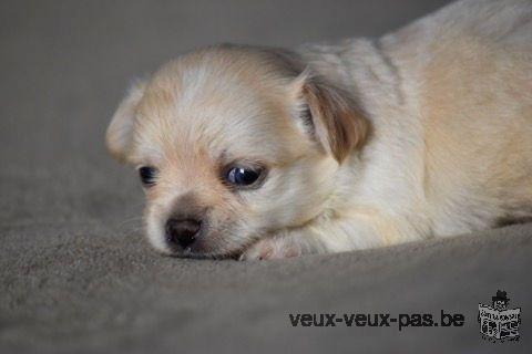 Adorable chiot Chihuahua mâle à donner